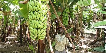 USAID-CII back banana farmers in Eastern India