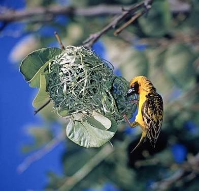 Weaver Birds maintain 'social distance'