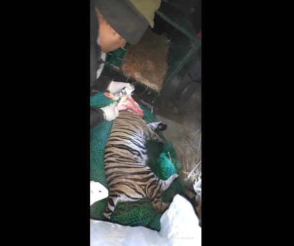 tigress-rescued-from-a-well-freed-in-forest