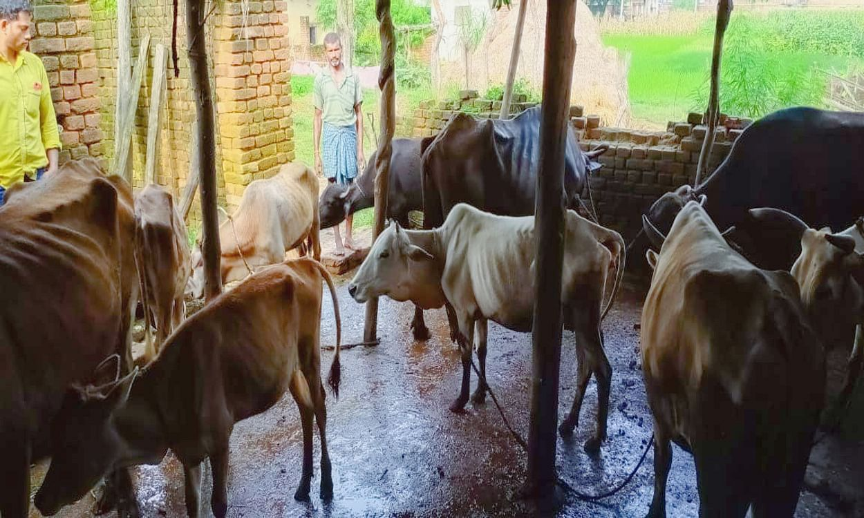 cattle-trapped-in-landlocked-cowshed-in-hazaribagh