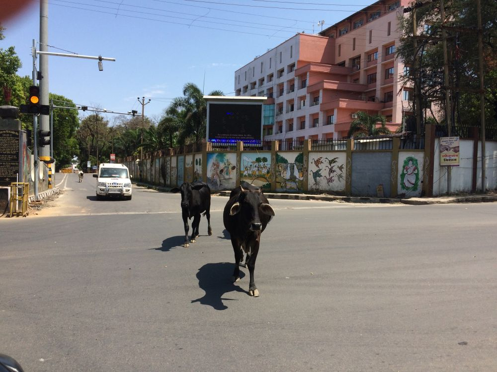 cows-walk-freely-where-covid-19-hit-patient-missing